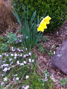 Daffodils and Little Whites