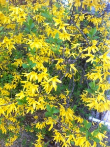 Yellow Bush